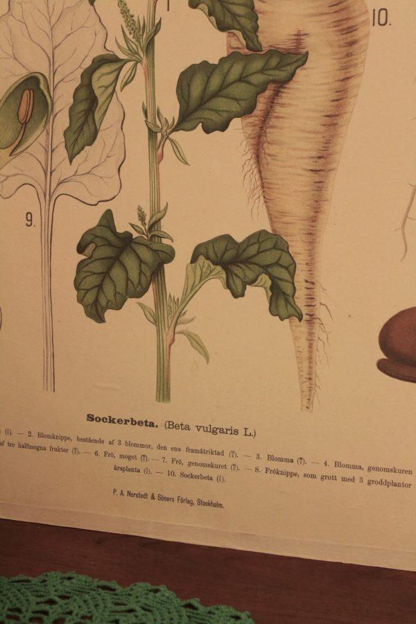 Detaljbild på sockerbeta skolplansch