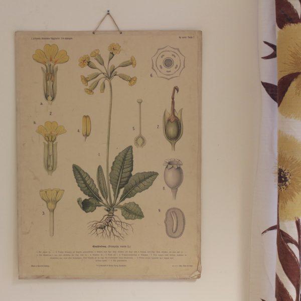 Vintage skolplansch med motiv av gul blomma, gullviva